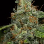 Grow Lights Benefits Growing Marijuana